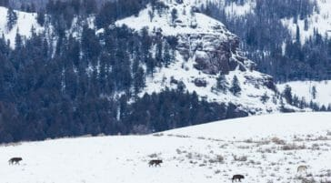 A Wolf Pack Travels Across The Snow In The Lamar Valley In Yellowstone National Park