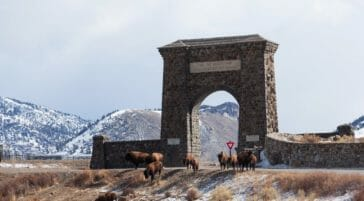 A Small Bison Herd Crosses In Front Of A Snowy Roosevelt Arch At The North Entrance Of Yellowstone National Park