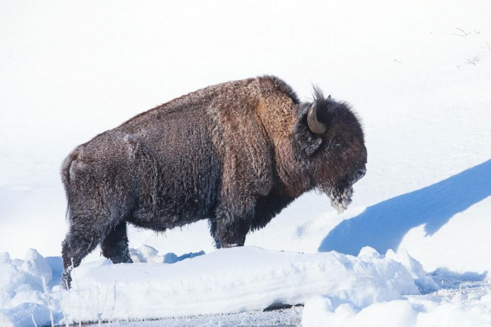 A Frost Covered Bull Bison Enjoys A Bit Of Warm Sunshine On A Cold Morning In Yellowstone National Park