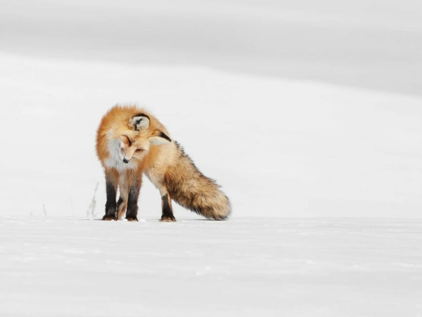A Red Fox Tilts Its Head To Listen For Rodents Under The Snow In Yellowstone National Park
