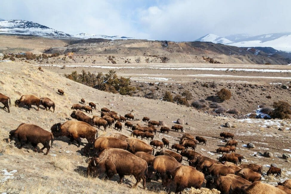A Herd Of Bison Covers The Hillside As They Migrate In The Northern Range Of Yellowstone National Park