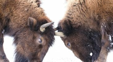 Two Bull Bison Spar With Horns In The Snow Covered Northern Range Of Yellowstone National Park