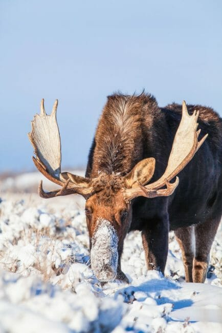 A Bull Moose Is Covered In Snow Near Yellowstone National Park