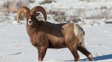 A Bighorn Sheep Ram Stands In The Snow In The Greater Yellowstone Ecosystem
