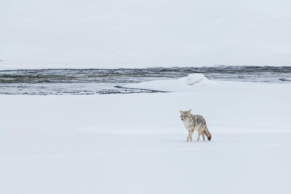 A Lone Coyote Travels Across The Snow Near The Yellowstone River In Yellowstone National Park