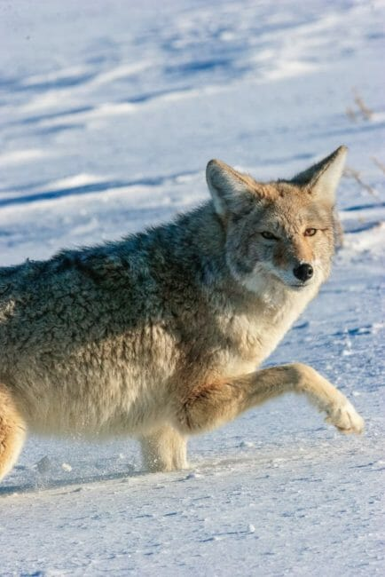 A Coyote Walks Through The Deep Snow In Yellowstone National Park