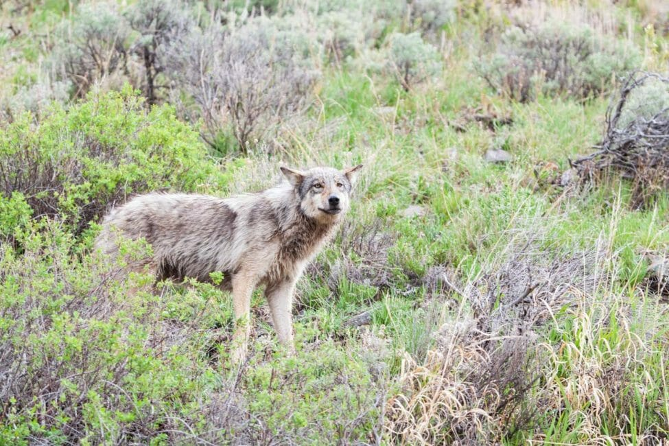 A Grey Wolf Is Seen Close Up On Wildlife Safari In The Lamar Valley Of Yellowstone National Park
