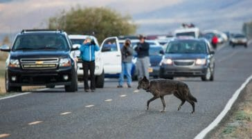 Tourists Stop On The Road To Take Photos Of A Grey Wolf As It Crosses The Road In Front Of Them