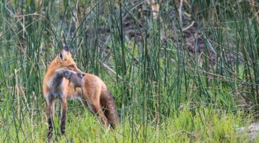 A Red Fox Holds A Ground Squirrel In Its Mouth From A Successful Hunt In Yellowstone National Park