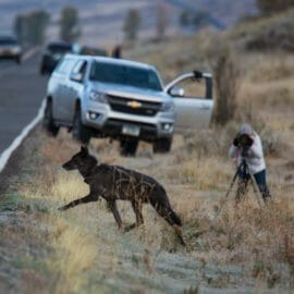 A Black Grey Wolf Crosses the Road In The Lamar Valley While Tourist Capture Photos In Yellowstone National Park