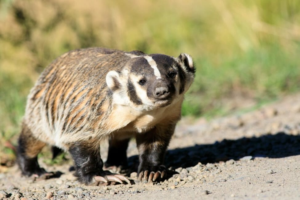 An American Badger Gets A Closeup Look At The Photographer In The Greater Yellowstone Ecosystem