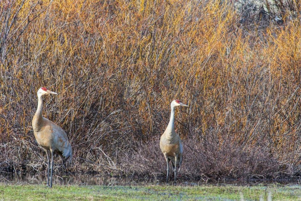 Sandhill Cranes Wade In A Shallow Pool At The Edge Of A Willow Flat In The Greater Yellowstone Ecosystem