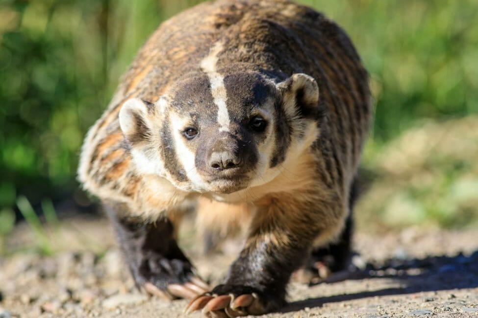 American Badger Close Up