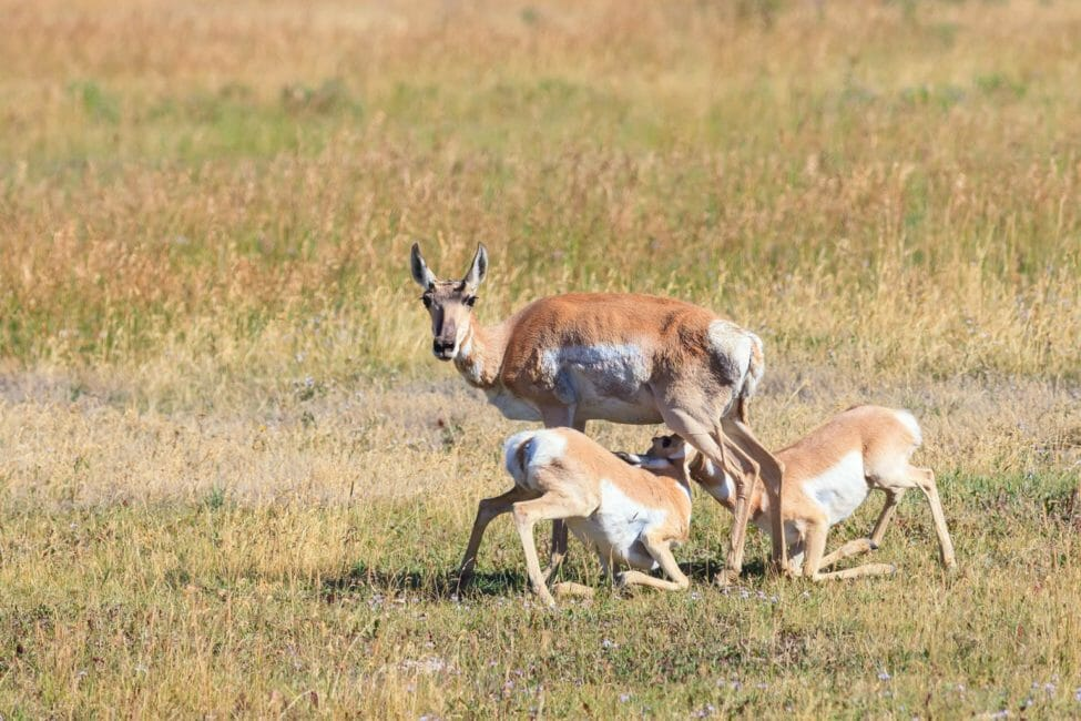 A Pronghorn Doe Nurses Her Fawns In A Field In Yellowstone National Park