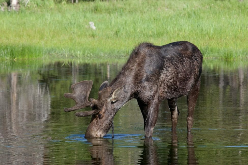 A Young Bull Moose Feeds On Aquatic Vegetation In The Greater Yellowstone Ecosystem