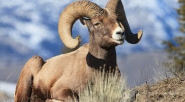 A Bighorn Sheep Ram Lays Down For A Rest In The Sunshine In The Northern Range Of Yellowstone National Park