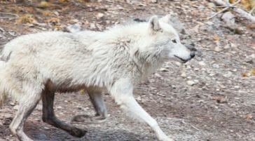 A Grey Wolf Runs Along The Road In Yellowstone National Park