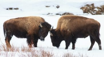 Two Bison Spar With Each Other On A Snowy Landscape In Yellowstone National Park