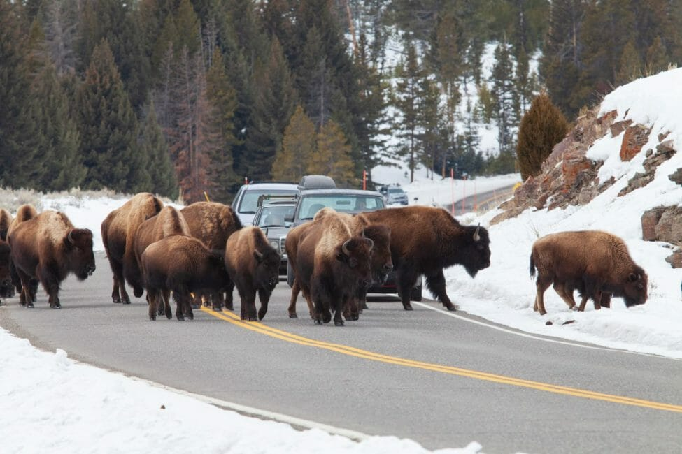 Several Bison Cluster On The Road, Blocking Traffic Through Yellowstone National Park