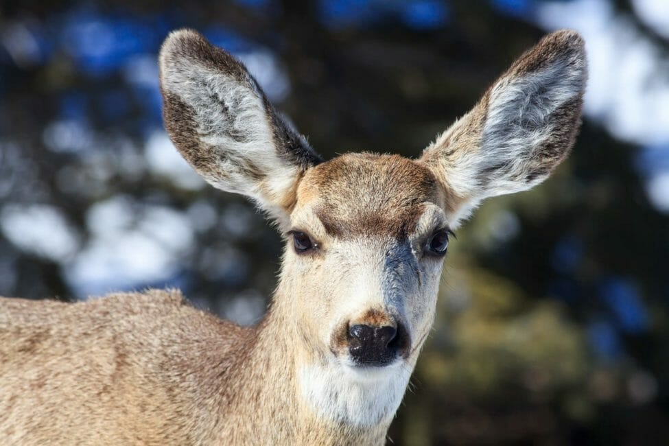 A Close Up Shot Of A Mule Deer Shows Its Large Ears And Distinct Brown And White Coloring