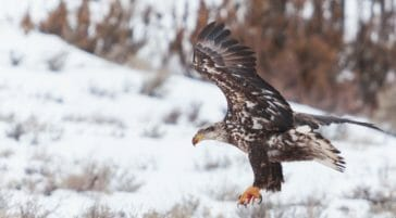 A Juvenile Bald Eagle Hunts With Wings Outstretched And Talons Ready To Snatch Prey