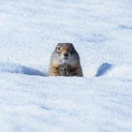 A Uinta Ground Squirrel Pops Its Head Up In The Snow To Look Around In The Lamar Valley Of Yellowstone National Park