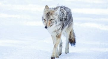 A Coyote Walks Through The Snow In Yellowstone National Park