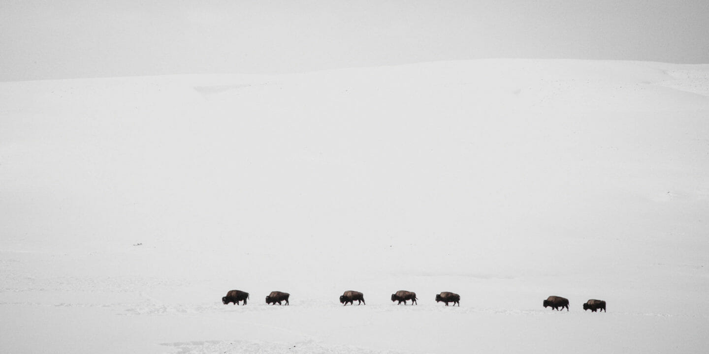A Herd Of American Bison Traverse A Snowy Landscape In Yellowstone National Park In The Winter