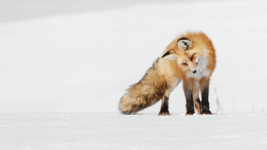 A Red Fox Listens For Rodents Moving Under The Snow As It Hunts In A Snowfield In The Greater Yellowstone Ecosystem
