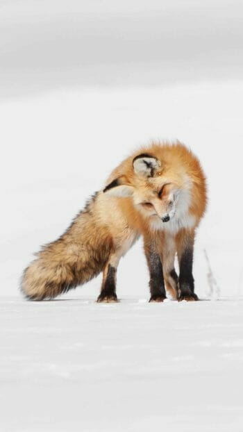 A Red Fox Listens For Rodents Moving Under The Snow In The Greater Yellowstone Ecosystem