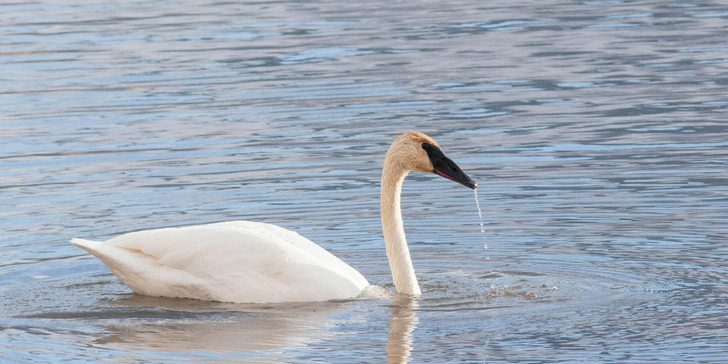 A Trumpeter Swan Glides Over the Water in Yellowstone National Park