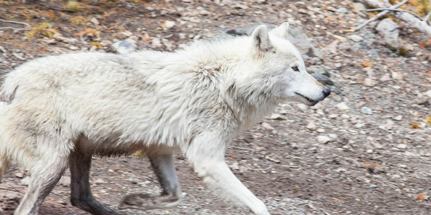A Grey Wolf Runs Across The Landscape In Yellowstone National Park