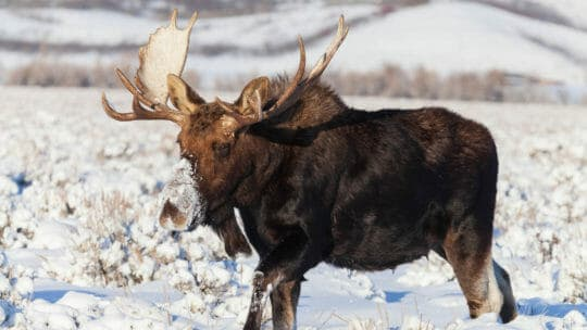 A Bull Moose Makes Its Way Through The Snow Covered Sagebrush Flats Of The Greater Yellowstone Ecosystem