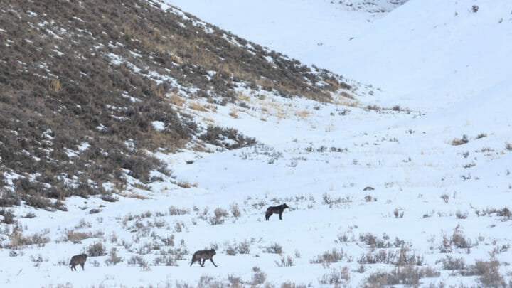 Wolves Hunt For Prey On A Snowy Landscape In The Lamar Valley In Yellowstone National Park