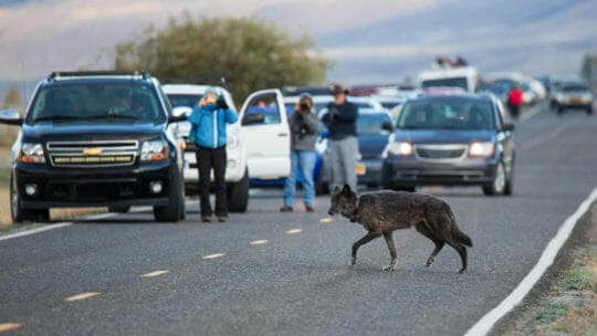 A Grey Wolf Crosses The Road In Yellowstone National Park While Tourists Watch From Their Vehicles