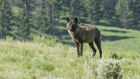 A Grey Wolf Stares Down The Photographer In Yellowstone National Park