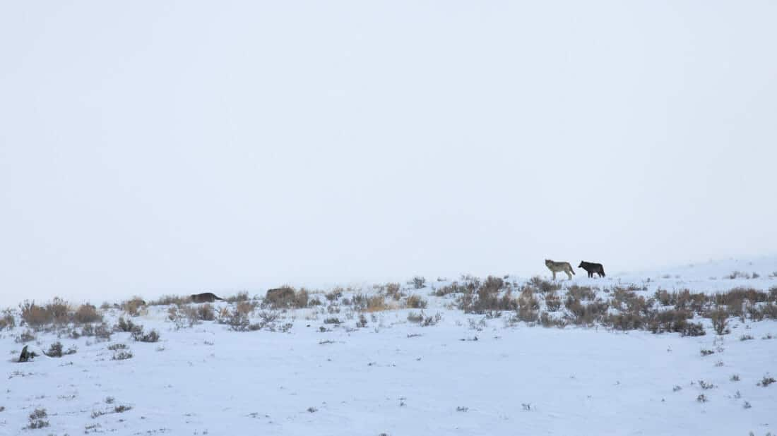 Two Members Of A Wolf Pack Are Seen On The Horizon In The Lamar Valley During Winter In Yellowstone National Park