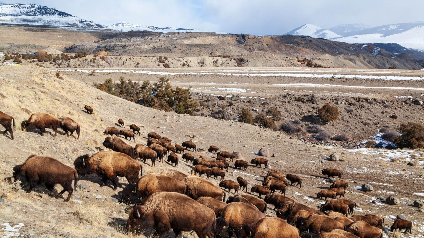 A Bison Herd Grazes In Yellowstone's Northern Range Near The North Gate To Yellowstone National Park