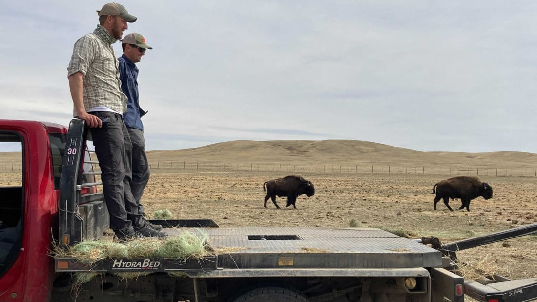 Grant Johnson and Will Sherman, Guides For Yellowstone Wildlife Safari Company Watch Several Buffalo Heading To Hay In Their Quarantine Enclosure On The Fort Peck Buffalo Ranch