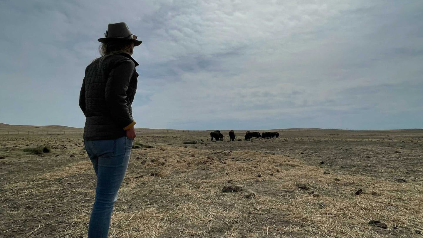 Ash Tallmadge, A Professional Wildlife Guide Looks On As A Herd Of Wild Buffalo Graze On Tribal Lands At Fort Peck