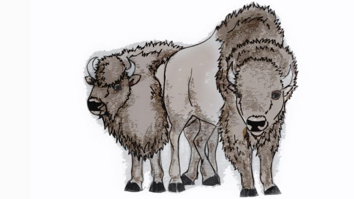 An Illustration Shows A Male And A Female Bison In A Rough Size Comparison