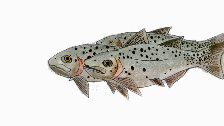 An Illustration Shows The Characteristic Spots Of The Cutthroat Trout, Native To The Greater Yellowstone Ecosystem