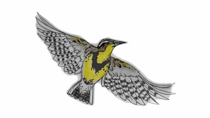 An Illustration Of A Western Meadowlark Showing The Yellow Underbelly And The Banded Patterns Under The Wings