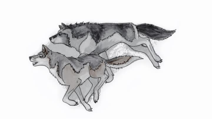 An Illustration Of Two Grey Wolves Hunting In A Pack In Yellowstone National Park