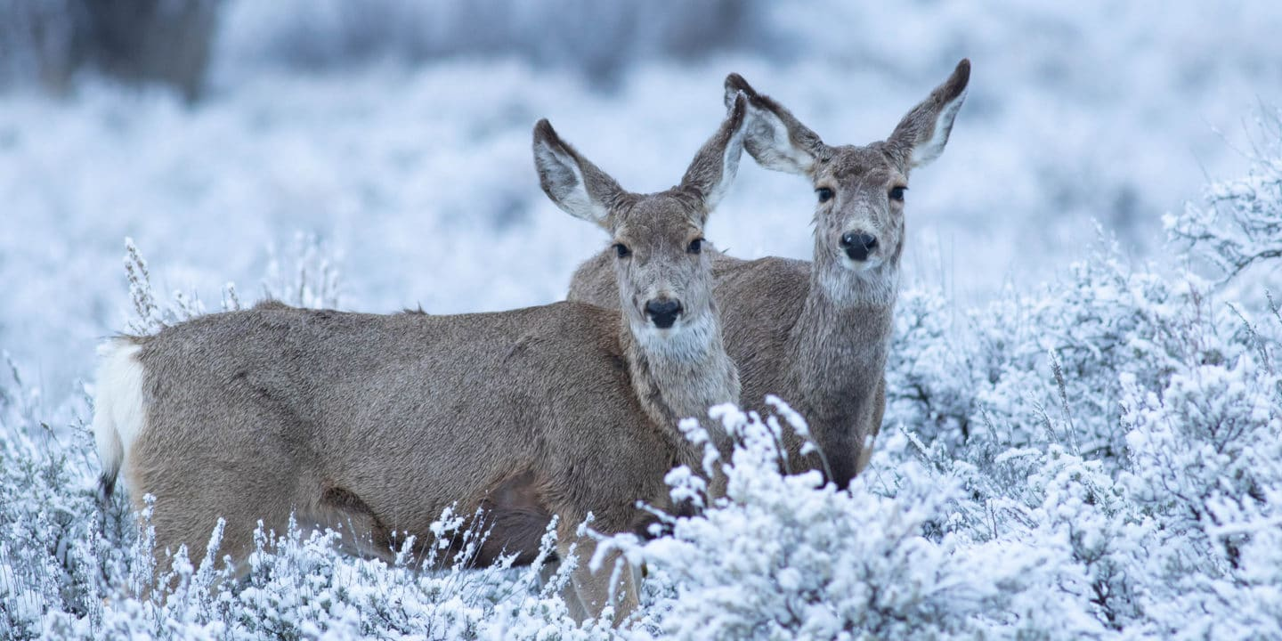 Mule Deer Browse For Food In The Snow Covered Sage Flats In Yellowstone National Park